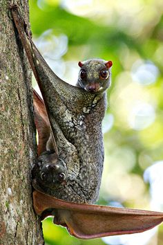 Philippine flying lemur with a baby. (Cynocephalus volans) known locally as the kagwang. The Philippine flying lemur is a folivore, eating mainly young leaves and occasionally soft fruits, flowers, and plant shoots and also insect. Interesting Animals, Unusual Animals, Rare Animals, Funny Animals, Strange Animals, Beautiful Creatures, Animals Beautiful, Flying Lemur, Tier Fotos