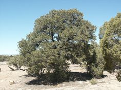 Pinyon pine is popular as a drought tolerant tree.  It is native to the Southwest, has edible nuts, and  has a pleasant smell when burned.  It can grow well in areas of 9-15 inches of rain yearly, and of course will quickly become established with the Waterboxx.  To bear nuts, two or more pinyon pines will need to be planted near one another.  The tree grows 20-40 feet at maturity.