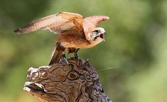 Bird on stump during Spirits of the Sky presentation