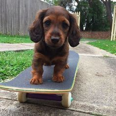 Cute little animals and other funny pictures Dachshund Puppies, Cute Dogs And Puppies, Baby Puppies, Doggies, Labrador Puppies, Weiner Dogs, Cute Dogs Breeds, Dog Breeds, Cute Little Animals