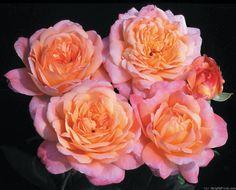 'Portlandia' Rose Photo
