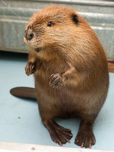A beaver gets some time out of his pen at the Alberta Institute for Wildlife Conservation (AIWC) near Madden, Alta.