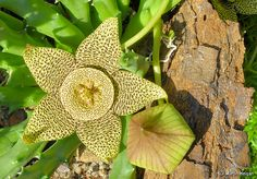 Orbea variegata flower and bud