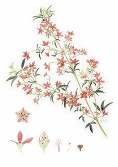 NSW Christmas Bush - Ceropetalum gummiferum
