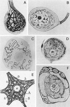 Drawings of the Golgi apparatus and supposed apparatus-like components in ...