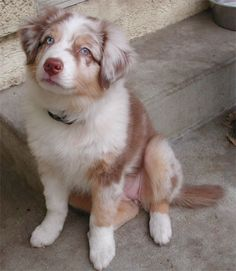 Red Aussie puppy
