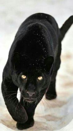 Elegante pantera negra.