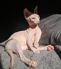 hurt me harder ! - Hairless Cat - Ideas of Hairless Cat - hurt me harder ! The post hurt me harder ! appeared first on Cat Gig. Animals And Pets, Baby Animals, Cute Animals, Pretty Cats, Beautiful Cats, Gato Sphinx, Cute Hairless Cat, Cat Aesthetic, Cat Breeds