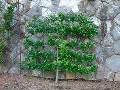 Grow dwarf fruit trees against a wall.