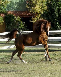 Chestnut Arabian Horses | ArabianHorseGlobal.com – Featured Photographers: Lori and Victor ...
