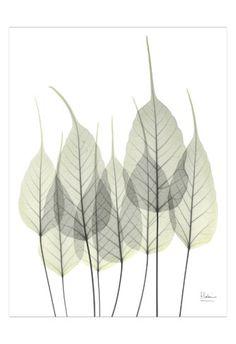 Bodhi Leaves • Albert Koetsier