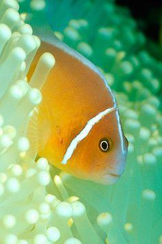 Anemonefish - ©Linda Cline (mandarinfish) www.flickr.com/photos/dancingfish/312208890/