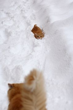 Ginger cats in snow.