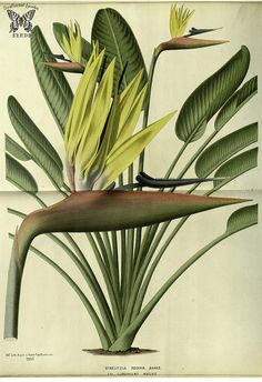 Bird of paradise flower. Strelitzia reginae var. lemoinierii. Flore des serres et des jardins de l'Europe v.23 (1880) Swallowtail Garden Seeds. https://www.flickr.com/photos/swallowtailgardenseeds/