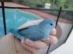 "a parrotlet I shall name ""Blueberry"""