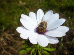 Η διμορφοθήκη είναι ένα είδος μαργαρίτας το οποίο έχει πολύ μεγάλη δειάρκεια ανθοφορίας, από τον Φεβρουάριο-Μάρτιο μέχρι τον Σεπτέμβριο και μπορεί και παραπάνω. Είναι φυτό με μελισσοκομικό ενδιαφέρον καθώς δίνει κυρίως γύρη.