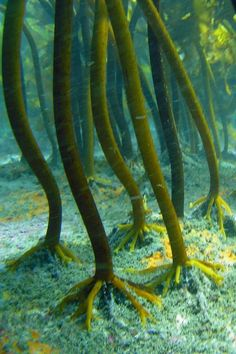Underwater Kelp Forest | Flickr - Photo by Dermal Denticles