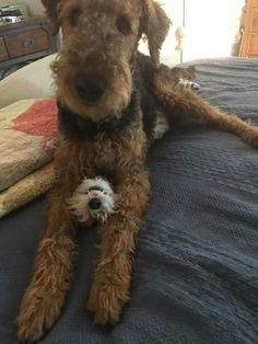 ##airedale