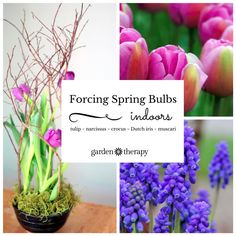 Home forcing flower bulbs is a hobby that gets the spring garden started right in your living room. #spon #ebay
