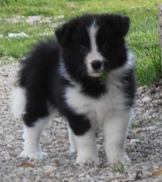 Cute Baby Dogs, Cute Puppies, Cute Babies, Collie Puppies, Collie Dog, Australian Shepherds, Border Collies, Ava, Cute Pictures
