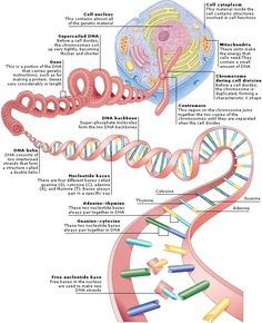 Genes are made up of DNA which is shaped like a twisted ladder with rungs made of molecules called nucleotide bases linked in specific pairs The arrangement of bases alon. Cell Biology, Ap Biology, Molecular Biology, Teaching Biology, Science Biology, Science Education, Life Science, Science And Nature, Biology Jokes