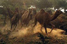 Camelos descem uma colina no início da manhã para participar de uma feira anual de animais em Pushkar, na Índia - http://epoca.globo.com/tempo/fotos/2013/11/fotos-do-dia-7-de-novembro-de-2013.html (Foto: AP Photo/Deepak Sharma)
