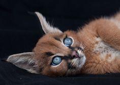 Отложите все свои дела и просто посмотрите на самых симпатичных в мире кошек.