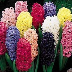 That black hyacinth looks amazing!