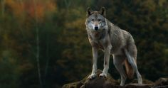 gray wolf 4k ultra hd wallpaper