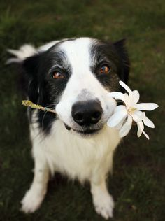 Border Collie Offering a Flower to Someone.