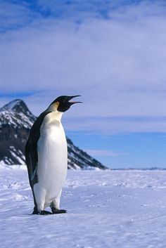 I would love to be able to photograph penguins. Please check out my website Thanks.  www.photopix.co.nz