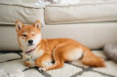 my name is kitsu! i'm a shiba and was born on april 2013 i live in oakland with my humans, nate & emily. i love to play with my ball, eat like a little piggy, and give kiki hugs & kisses. Big Dogs, I Love Dogs, Cute Dogs, Dogs And Puppies, Doggies, Small Dogs, Best Dogs For Families, Family Dogs, Medium Sized Dogs