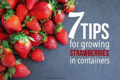 7 Tips for Growing Strawberries in Containers Growing strawberries in containers is an easy way to enjoy fresh fruit even if you don't have a yard. Here are 7 tips to ensure you have a successful harvest. Potted Strawberry Plants, Strawberry Garden, Potted Plants, Growing Strawberries In Containers, Growing Tomatoes In Containers, Grow Strawberries, Small Covered Patio, Small Patio, Perennial Vegetables