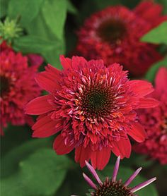 echinacea. Flowers through summer heat. Good contrast for vivid blue and rose. Perennial.