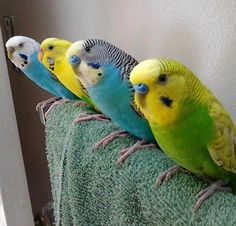 Not only is this a great picture of budgies-in-a-row, but look at the different head patterns. 4 similar birds, 4 unique faces!