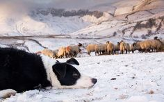 Titch the border Collie keeps a close eye on Swaledale ewes being fed on a snowy Christmas morning in the Howgill Fells near Sedbergh, Cumbria Picture: Wayne HUTCHINSON / Alamy
