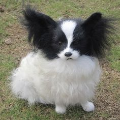 Adorable Papillon puppy with flyaway ears