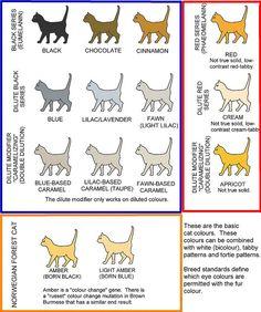 33 Best Cat Colours And Conformation Guides Images Cat Colors