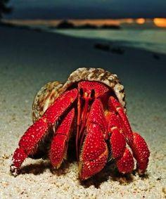 """¿Como vería si fuera un... cangrejo? ¡Tendríamos 10 ojos! Los cangrejos tienen dos ojos a los costados de su cuerpo, cinco en el """"lomo"""", dos en la mitad de su cuerpo y uno bajo su cola.  ¿Os imagináis la montura de gafas que necesitaríamos?"""