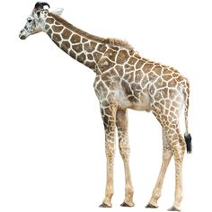 A young giraffe in the zoo. Or in the wild. It's a choice that is completely up to you.