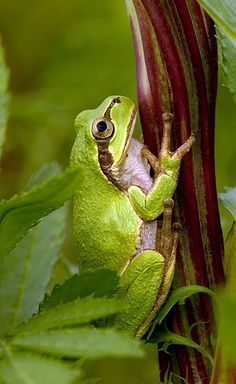"""of a Japanese tree frog.Picture of a Japanese tree frog. Toad in the Window by Barbara Andras. He looks like he's saying, """"Peace Out, Dude! Animals And Pets, Baby Animals, Wild Animals, Green Tree Frog, Frog Pictures, Japanese Tree, Frog And Toad, Frog Frog, Cute Frogs"""