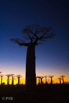 coucher de soleil sur la forêt de baobabs