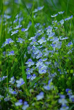 Vergissmeinnicht Blumen - photography - nature Ⓒ PASTELPIX