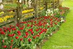 dark red tulips and other spring bulb flowers by the fence