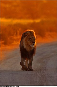 Just a lion walking down the road... too impatient to wait for AAA I guess