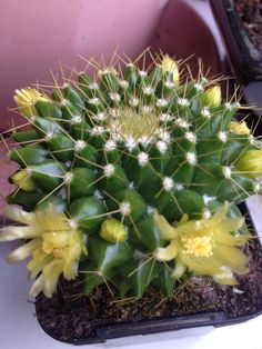 Flowering cacti from my garden
