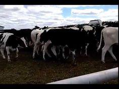 Голштинская молочная порода коров   Племенные породы КРС  продажа 8965617005 WhatsApp продуктивность