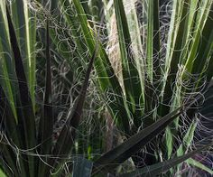 Leaves of green by Dennis Begnoche - Photo taken of reed leaves next to pond Arizona. Click on the image to enlarge.