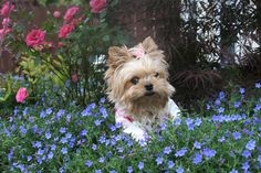 This little one looks a lot like our Lily...she's a therapy dog for cancer patients, and it brings me great fulfillment as she works her wonders and brings joy where there is sadness