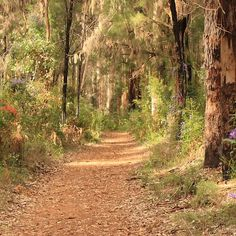 Through the Gum Trees, Gloucester National Park, Pemberton, Western Australia